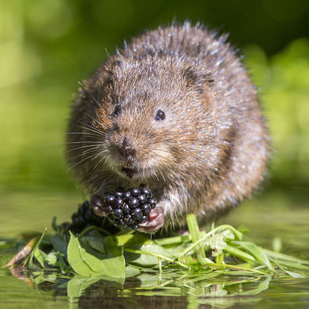 Water Vole Surveys