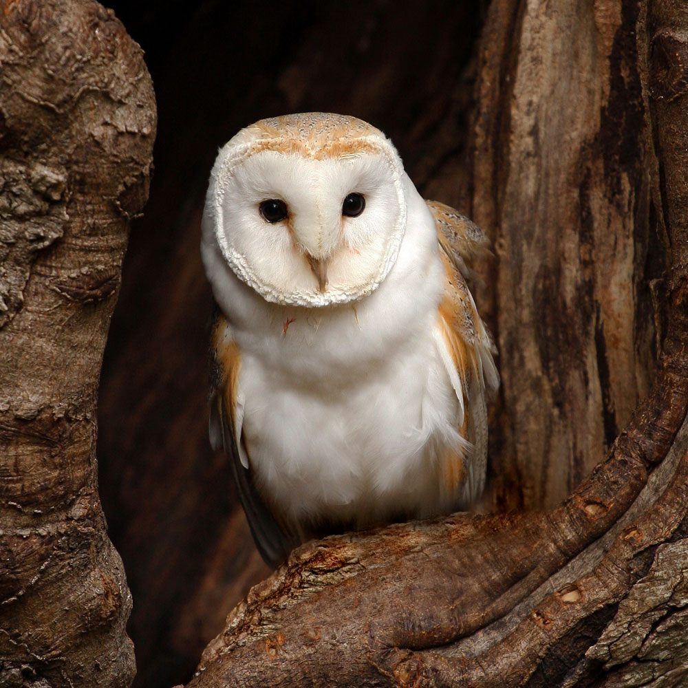 Barn Owl Surveys